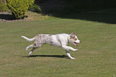 Border collie puppy running Royalty Free Stock Photo