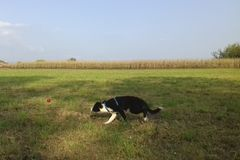 Border collie Puppy running in the field royalty free stock photos