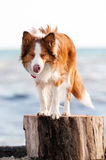 Border collie puppy on the sea. Background stock photo