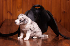 Border Collie puppy sitting next to a saddle for ponies and see the world Royalty Free Stock Photography