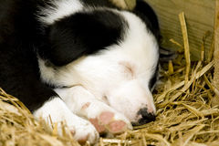 A Border Collie puppy sleeping Stock Photos