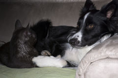 A border collie puppy sleeps hugged with a cat stock image