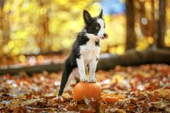 Border collie puppy stays on pumpkin royalty free stock photography