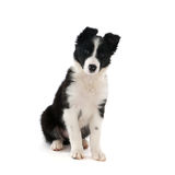 Border Collie puppy. In studio isolated over white background Stock Photography