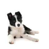Border Collie puppy. In studio  over white background Royalty Free Stock Images