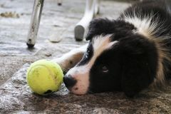 Border collie puppy with a tennis ball stock images