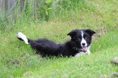 Border Collie puppy Stock Photography