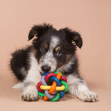 Border collie puppy with a toy Royalty Free Stock Photo