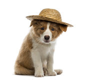 Border Collie puppy wearing a straw hat Royalty Free Stock Images