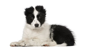 Border Collie puppy (10 weeks old) Royalty Free Stock Photos