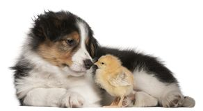 Border Collie puppy, 6 weeks old, playing with chick in front of. White background Royalty Free Stock Photo