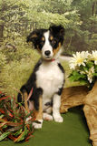 Border Collie Puppy in the Woods Stock Photos
