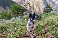 Border Collie puppy in the woods. stock photo