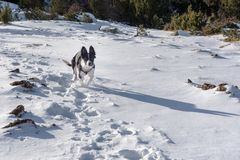 Border Collie puppy in the woods in winter royalty free stock photo