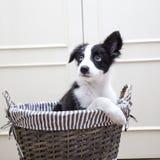 Border collie-puppyhond Stock Afbeelding