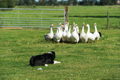 Border collie que conduz gooses Imagem de Stock Royalty Free