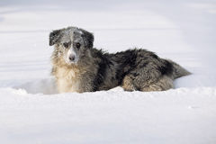 Border collie que joga na neve Imagem de Stock Royalty Free
