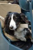 Border collie que relaxa em um carro retro imagem de stock royalty free