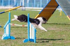 Border collie que salta sobre o obstáculo na competição de esporte da agilidade do cão foto de stock royalty free
