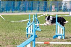 Border collie que salta sobre o obstáculo na competição de esporte da agilidade do cão imagens de stock royalty free