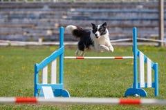 Border collie que salta sobre o obstáculo na competição de esporte da agilidade do cão fotografia de stock royalty free