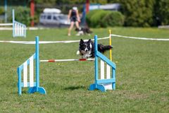 Border collie que salta sobre o obstáculo na competição de esporte da agilidade do cão fotografia de stock