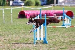 Border collie que salta sobre o obstáculo na competição de esporte da agilidade do cão fotos de stock royalty free