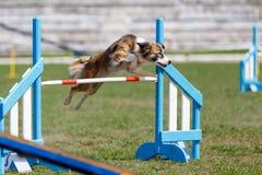 Border collie que salta sobre o obstáculo na competição de esporte da agilidade do cão imagens de stock