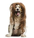 Border collie que senta-se com uma peruca vermelha do cabelo, isolada Fotografia de Stock Royalty Free