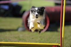 Border collie que voa sobre o obstáculo na competição da agilidade Fotografia de Stock Royalty Free