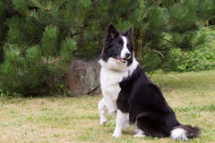 Border collie with a raised right paw Stock Photos