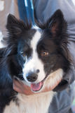 Border collie is ready for grooming Royalty Free Stock Image