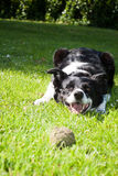 Border Collie ready to play Royalty Free Stock Photo