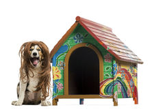 Border collie with red hair wig sitting next to a dog kennel, isolated. On white Stock Photo