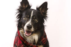 Border collie with a red scarf Royalty Free Stock Images