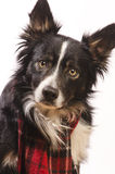 Border collie with a red scarf Stock Images