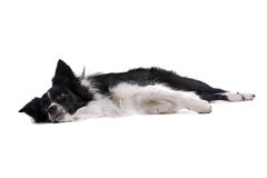 Border Collie resting on floor royalty free stock photo