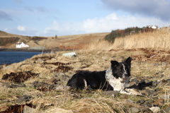 Border collie. Resting in Isle of sky stock photos