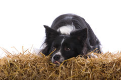 Border Collie resting on straw Stock Photo