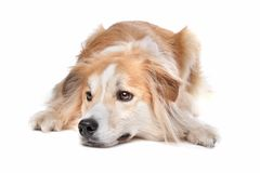 Border Collie/Retriever mix Royalty Free Stock Image