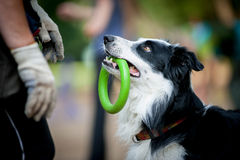 Border collie with the ring watching to owner Stock Photography