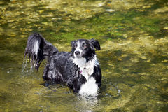 Border collie in the river. A black and white border collie playing in the river on a sunny day Royalty Free Stock Image