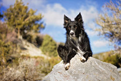 Border Collie on Rock. With Sky Background Royalty Free Stock Photos