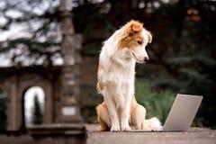 Border collie rojo adorable del perro que se sienta en la verja y que juega el ordenador portátil con la cara de la felicidad foto de archivo libre de regalías