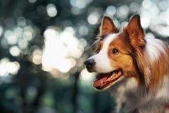 Border collie rojo del perro en luz del sol Imagenes de archivo