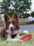 Border collie rouge et blanc avec le frisbee ! Image stock
