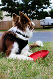 Border collie rouge et blanc avec le frisbee ! Photos libres de droits