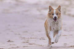 Border collie rouge fonctionnant sur la plage Image stock