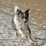 Border collie running. Border collie - bluemerle - running royalty free stock image