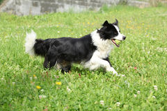 Border collie running Royalty Free Stock Image
